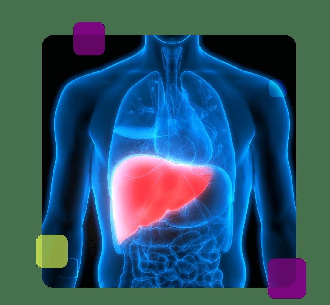 A imagem mostra a região do fígado, principal afetada pelas hepatites virais.
